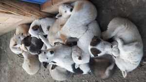 Husky Puppies looking for a forever home