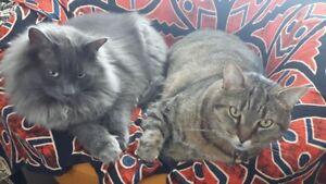 Beau gros chat angora gris bleu perdu hier soir le 23 sept