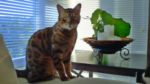 Beautiful Show Quality Pure Bred Bengal