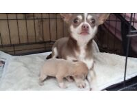 GORGEOUS TINY CHIHUAHUA GIRLS AND BOYS READY TO LEAVE!