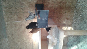 Bantam chickens and rooster for sale