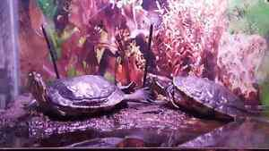 Two slider turtles and 100 gallon tank