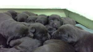 Labrador retriever puppies.  Bred for looks and temperment.