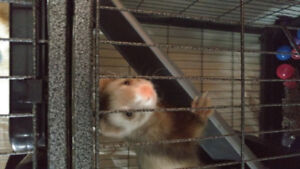 2 Ferrets need a home