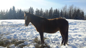 Tennessee walker mare.