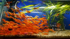 goldfish in Adelaide Region, SA   Fish   Gumtree Australia