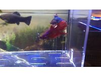 Red Female Betta Fighting Fish for sale!
