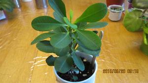 plante d'intérieur Québec City Québec image 5