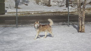 Lost Dog - HUSKY