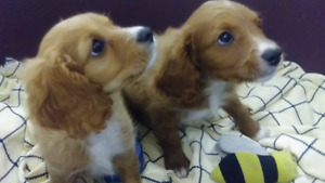 Cavalier King Charles spaniel cross poodle puppies