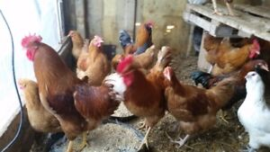 Roosters for sale, Chicks on the way