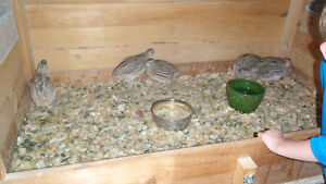 FREE-5 Quail hens ( 1 yr olds) laying + Rooster