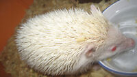 ALBINO HEDGEHOG with cage