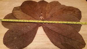 Indian Almond Leaves (Catappa) -For Aquariums betta, shrimp....