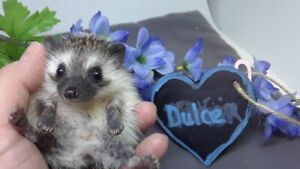 Cutest hedgehog babies! Guaranteed by ethical breeder