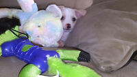 ChiChi Puppy, one little boy (Chinese Crested/Chihuahua)
