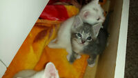 polydactyl kittens and mom for adoptions