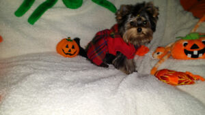 CKC TINY FEMALE (3.75#@Adult*) Yorkie Pup
