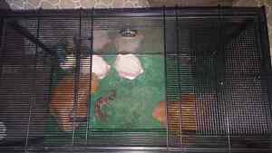 Two female geckos for sale.