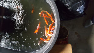 KOI for sale and one large goldfish