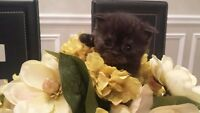 PUREBRED SCOTTISH FOLD KITTENS FOR SALE! - SOLD OUT!!!