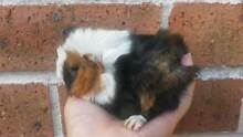 Baby Guinea pigs for sale -- very cute ! Gordon Ku-ring-gai Area Preview