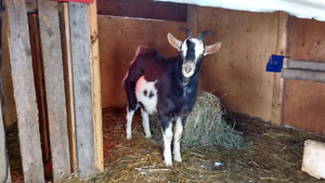 Alpine goat for sale