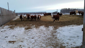 Herefords for sale
