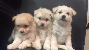 GOREGOUS pom and shitzu mix puppies for sale !