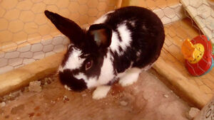 10mnth Oldd male bunny