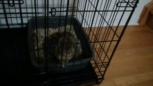 Holland lop 7 month old Male