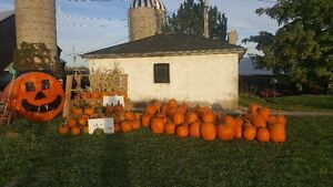 Pumpkins for Thanksgiving and Halloween for Sale Peterborough Peterborough Area image 1