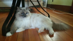 Purebred Rag doll Female