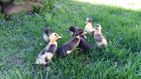 Indian Runner Ducklings Are Egg Laying Ducks!!!