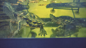 Two red-eared slider turtles and all accessories