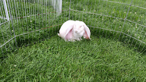 Frosted pearl English lop male rabbit