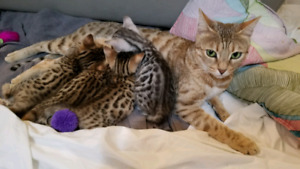 Exotic Bengal kittens ready to be rehomed for Christmas