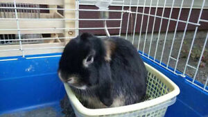 rabbit: pure bred holland lops for sale, coquitlam area