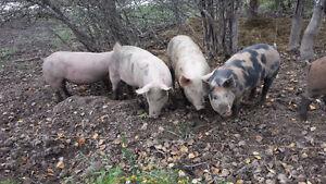 Large feeder pigs