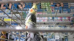 COKATIELS and CONURES,    hand fed babies just arrived