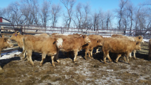 20 Top End Tan Replacement Heifers