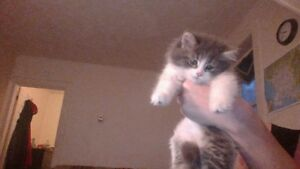 ONE FLUFFY GREY AND WHITE 9 WEEK OLD FEMALE KITTEN