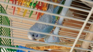 Free bird (Parakeet) - pending pick up for Saturday Sept 22