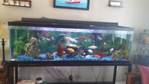 Large 130 gallon aquarium