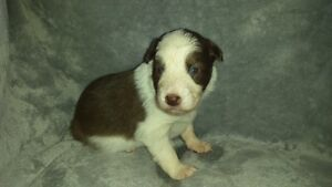 (( WE CAN PICK UP // DROP OFF YOUR DOG !! )) Kawartha Lakes Peterborough Area image 2