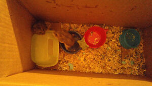 2 dwarf hamster with cage