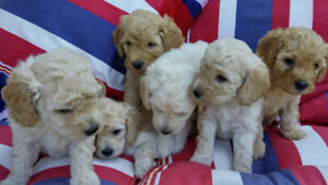 BEAUTIFUL Pure Bred Apricot MINIATURE POODLE Puppies 4 SOLD