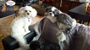 *FULL FOR HOLIDAYS*CAGE-FREE FAMILY HOME FOR SMALL DOGS ALL YEAR West Island Greater Montréal image 7