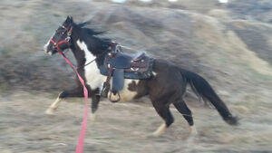 4 year old APHA Gelding