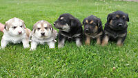 German shepherd cross puppies - SOLD!!!